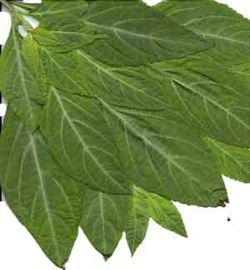 salvia-divinorum-leaves.jpg